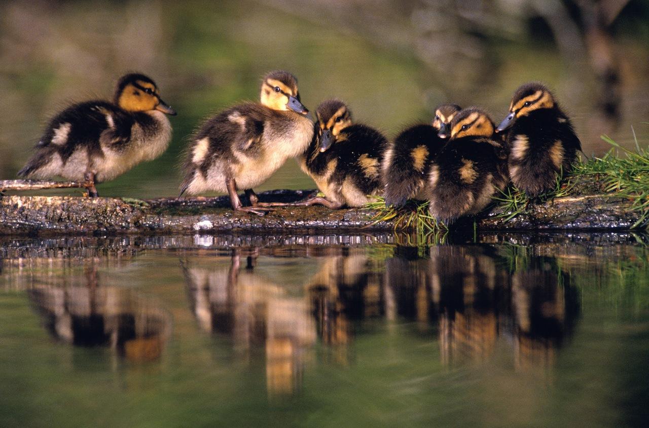 Mallard Ducklings | TRWD