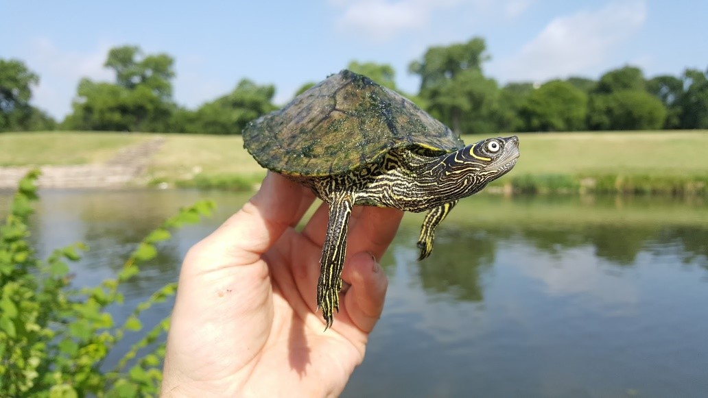 Soft Shell Turtle | TRWD